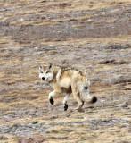 CANID - TIBETAN WOLF -  KEKEXILI NATIONAL RESERVE - QINGHAI PROVINCE - WEST OF QUMALAI (3).JPG