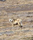 CANID - TIBETAN WOLF -  KEKEXILI NATIONAL RESERVE - QINGHAI PROVINCE - WEST OF QUMALAI (4).JPG
