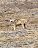 CANID - TIBETAN WOLF -  KEKEXILI NATIONAL RESERVE - QINGHAI PROVINCE - WEST OF QUMALAI (6).JPG