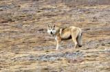 CANID - TIBETAN WOLF -  KEKEXILI NATIONAL RESERVE - QINGHAI PROVINCE - WEST OF QUMALAI (7).JPG