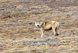 CANID - TIBETAN WOLF -  KEKEXILI NATIONAL RESERVE - QINGHAI PROVINCE - WEST OF QUMALAI (8).JPG