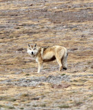 CANID - TIBETAN WOLF -  KEKEXILI NATIONAL RESERVE - QINGHAI PROVINCE - WEST OF QUMALAI (9).JPG