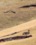 CERVID - DEER - WHITE-LIPPED DEER - KEKEXILI NATIONAL RESERVE - QINGHAI PROVINCE - WEST OF QUMALAI (20).JPG
