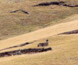 CERVID - DEER - WHITE-LIPPED DEER - KEKEXILI NATIONAL RESERVE - QINGHAI PROVINCE - WEST OF QUMALAI (22).JPG