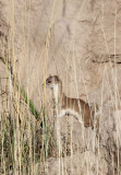 MUSTELID -Mountain Weasel (Mustela altaica) - XINGHAI CANYON AREA QINGHAI CHINA (19).JPG