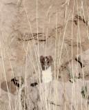 MUSTELID -Mountain Weasel (Mustela altaica) - XINGHAI CANYON AREA QINGHAI CHINA (2).JPG