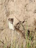 MUSTELID -Mountain Weasel (Mustela altaica) - XINGHAI CANYON AREA QINGHAI CHINA (22).JPG
