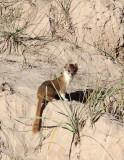 MUSTELID -Mountain Weasel (Mustela altaica) - XINGHAI CANYON AREA QINGHAI CHINA (24).JPG