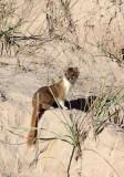 MUSTELID -Mountain Weasel (Mustela altaica) - XINGHAI CANYON AREA QINGHAI CHINA (25).JPG