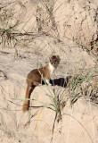MUSTELID -Mountain Weasel (Mustela altaica) - XINGHAI CANYON AREA QINGHAI CHINA (26).JPG