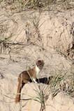 MUSTELID -Mountain Weasel (Mustela altaica) - XINGHAI CANYON AREA QINGHAI CHINA (27).JPG