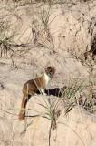 MUSTELID -Mountain Weasel (Mustela altaica) - XINGHAI CANYON AREA QINGHAI CHINA (28).JPG