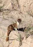 MUSTELID -Mountain Weasel (Mustela altaica) - XINGHAI CANYON AREA QINGHAI CHINA (29).JPG