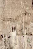 MUSTELID -Mountain Weasel (Mustela altaica) - XINGHAI CANYON AREA QINGHAI CHINA (4).JPG