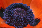 May Poppy - frontyard.jpg
