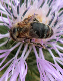 Galactites tomentosa and bee!