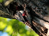 Male Greater Spotted Woodpecker 03