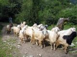 Driving Sheep.jpg