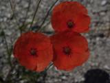 fleurs_des_champs
