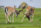 Dovhjort - Fallow Deer