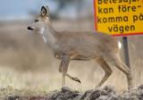 Roe Deer - Rådjur