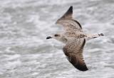Havstrut - Great Black-backed Gull