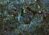 Resplended Quetzal (male)