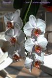 Phalaenopsis Lemforde Novelty
