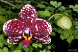 Phalaenopsis Ever Spring Fairy