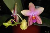 Phalaenopsis Sweet Memory 'Liodoro'