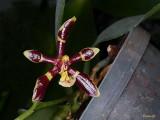 Phalaenopsis mannii 'Mahogany'