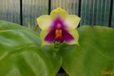 Phalaenopsis bellina 'Hemde'