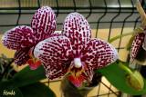 Phalaenopsis Ever Spring King 'Lee'