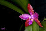 Phalaenopsis lueddemanniana 'Mindanao'
