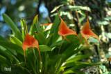 Masdevallia hybrid