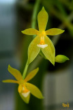Phalaenopsis cornu-cervi 'flava'