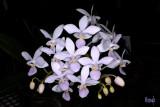 Phalaenopsis equestris 'albescens'
