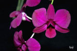 Dendrobium biggibum hybrid