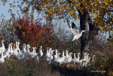 Cleared For Takeoff - Greater Snow Geese