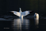 Time To Face A New Dawn - Greater Snow Geese