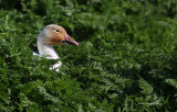 Sneaky Snow Goose On The Loose