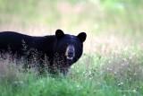 Grin And Bear It - Cap Tourmente Black Bear