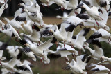 Greater Snow Geese Have Returned To Cap Tourmente!