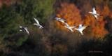 Autumn Frolic At Cap Tourmente - Greater Snow Geese