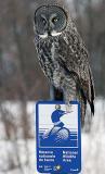 Ultimate Cap Tourmente National Wildlifre Area Advertisement - Great Grey Owl - Chouette laponne