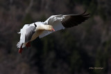 Breaking Against The Wind - Greater Snow Goose Landing