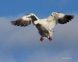 Fun With Snow Geese ----------------  Ravissement avec les Grandes Oies des neiges