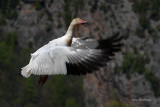 I've Kicked In My Afterburners - Greater Snow Goose At Cap Tourmente