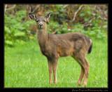 deer02_0955.jpg