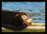 sea_lion01_3059.jpg